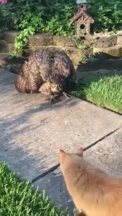 An Owl meets a Kitty