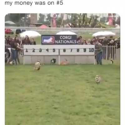 The only sport I would invest in.... Behold the corgi nationals