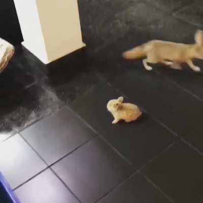 Fox scared by rabbit