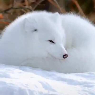 Beautiful Arctic Fox