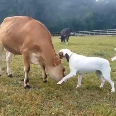 Happy cow playing with a dog