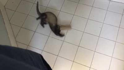 I'm away at college and had to leave my ferret with my parents. My dad sent me this saying that he heard a ruckus in the bathroom