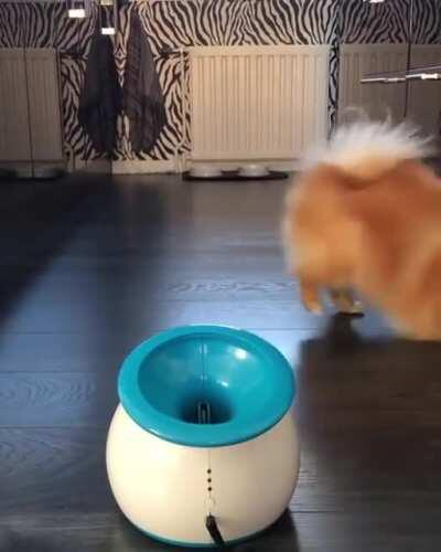 Pure Pomeranian Joy