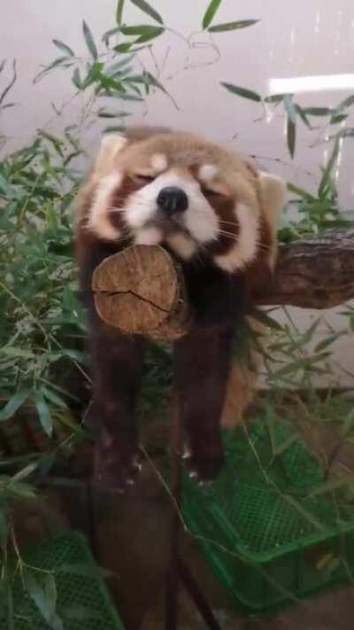 A sleepy red panda for your troubles