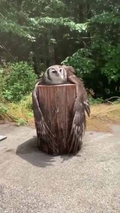 🔥 An owl chilling on a stump 🔥