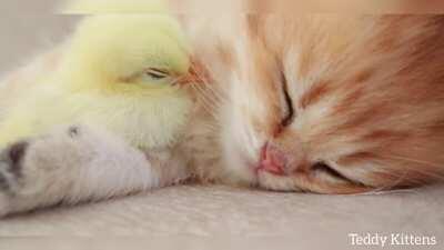 Милоты вам в ленту. Котенок и ципленок спят вместе!