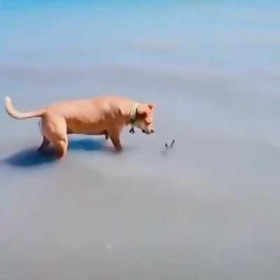Curious dog finds something on the beach