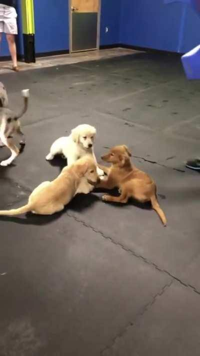 Goldens holding hands at puppy play hour