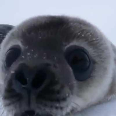 Baby seal checks out wildlife photographer