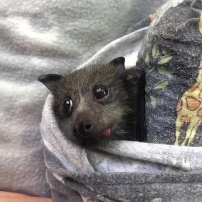 This bat is eating watermelon and it's cute