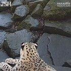 Leopard freaks out when it sees a new camera in it's enclosure