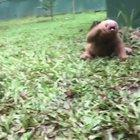 Cry of the sloth