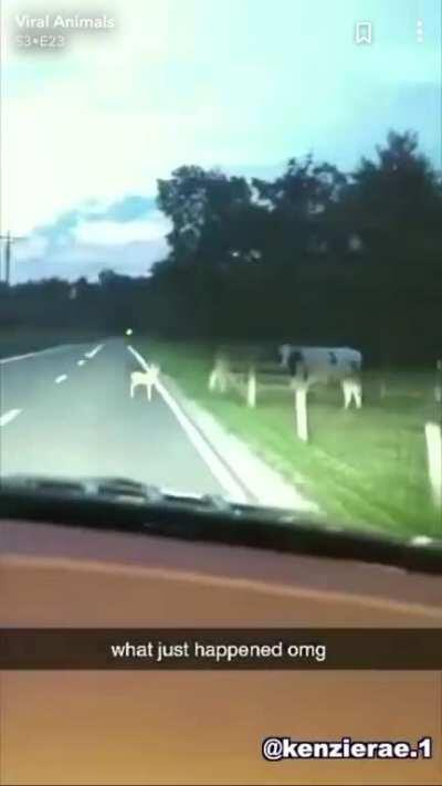 Cow attacks car