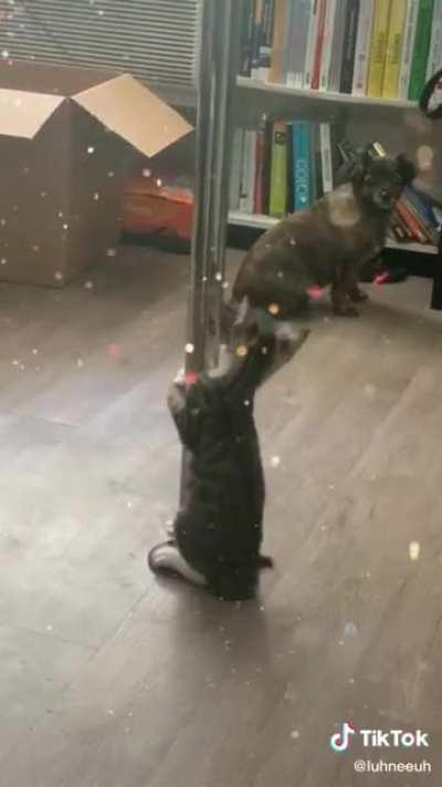 Little pole cat