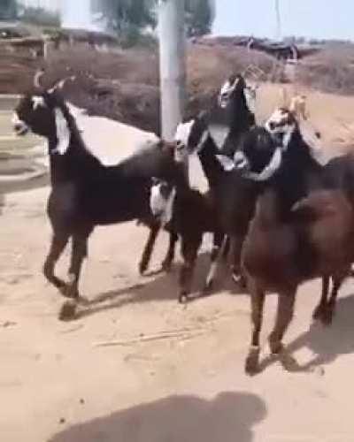 Disco goats!