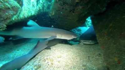 A nest of young white-tip reef sharks under Mala Pier, Maui last week
