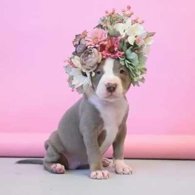 Flowery Pitbull