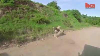 Lion takes out an antelope in mid air