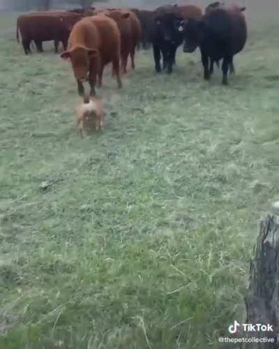 Cows all tough until the BULLDOG turns around
