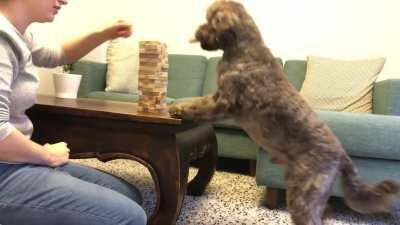 During lockdown I taught my pup Jenga and he's starting to get pretty good!