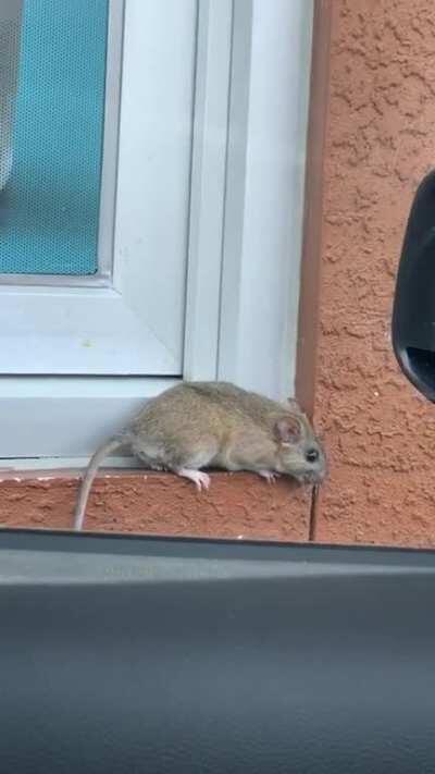 Rat Attack at McDonalds