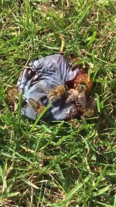 Bienenbrudis heute auf einer guten Zwetschge