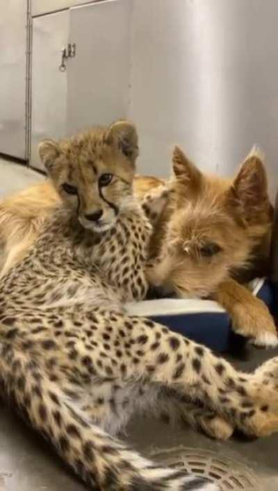 A cheetah cub messing around with their pupper companion