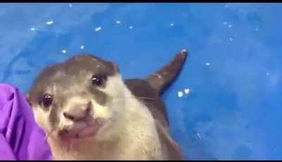 Otter teaches human how to pet him.