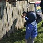 Feeding the horse.
