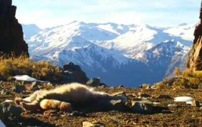 The Andean Mountain Cat is a very rare and elusive cat species. Their long tail (about 2/3 of body length) is important in keeping balance and agility while hunting in rocky, mountainous terrain.