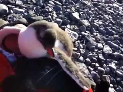 Baby penguin meets a human for the first time. Determines they can be used for warmth.