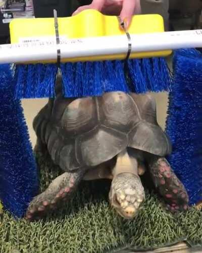 Turtles & tortoises can feel their shells (their shells have nerve endings). Sometimes they can get itchy. Keepers at the Philly Zoo made this shell scratcher so the turtles & tortoises can get A+ scratches.