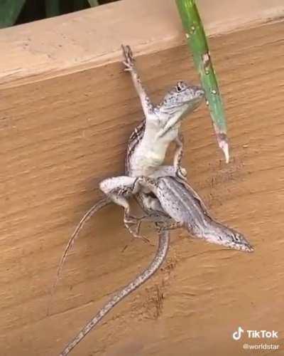 That lizard 🦎 is a badass.