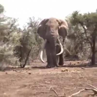 Largest Elephant in the world, weighing approx 8000 kgs