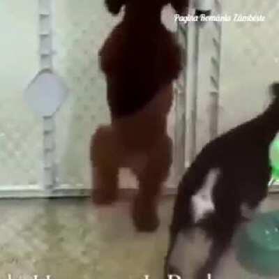 Câinele maramureșean