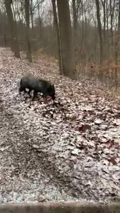 (Nicht ich im Video) Unser ortsansässiger Jäger lässt seit Jahren zahme Tiere zum Abschluss frei. Jetzt auch das erste Mal Füchse die ganz klar vorher Haustiere waren. Jeder Versuch ihn bei der Polizei/dem Amt zu melden scheitert.