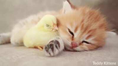 kitten sweetly sleeps with chick