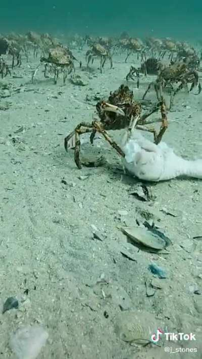 Diver finds crab casually eating a chicken leg