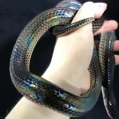 🔥 The iridescence of a Sunbeam snake 🔥