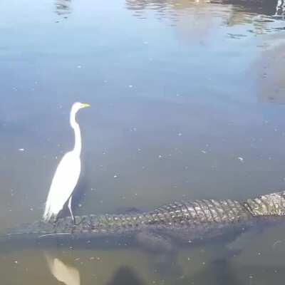 Crane chilling on gator
