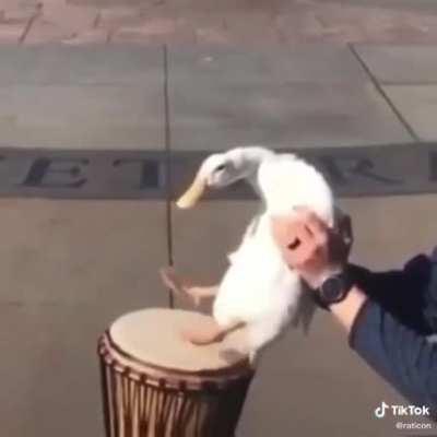 Drummer Duck