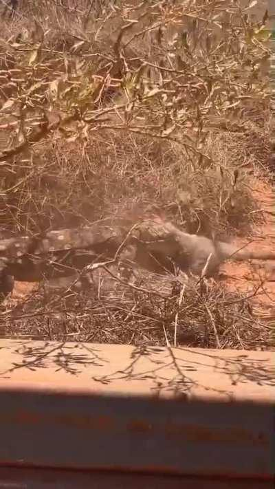 Monitor lizard captures a small wallaby, Western Australia