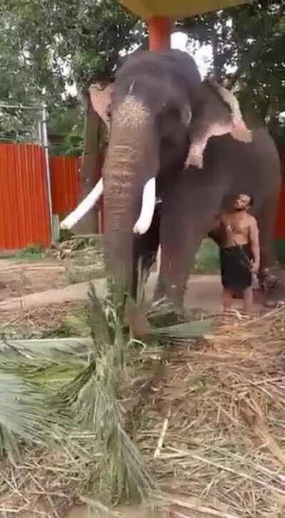 A Mahout at a Temple in Kerala asks his Elephant permission to go home. Just see the body language, bonding & affection. Amazing & so beautiful to watch.
