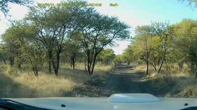Head on collision with an Impala