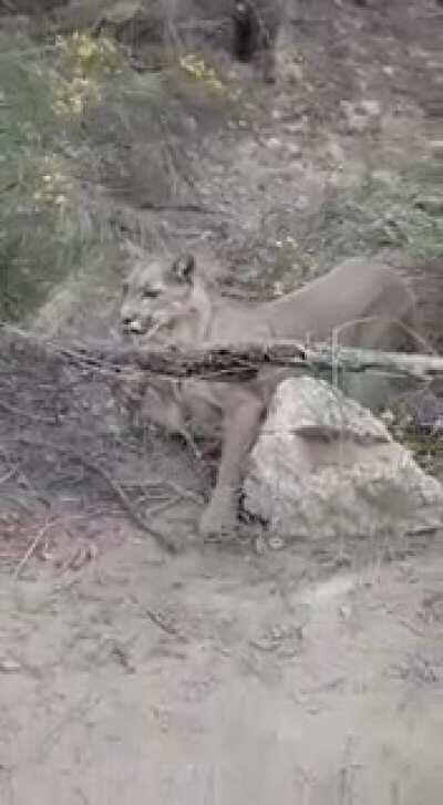 Puma que escapaba del incendio quedo atrapado en alambres(fue liberado momentos despues)