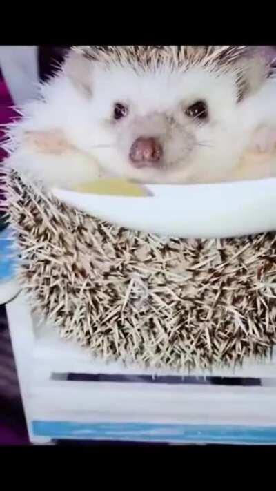 Hedgehog waking to the smell of food