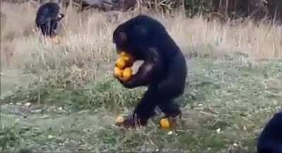This Monkey goes for the maximum
