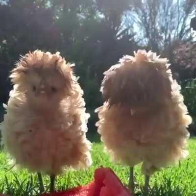Fluffy Chickens