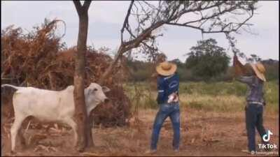 WCGW helping a cow