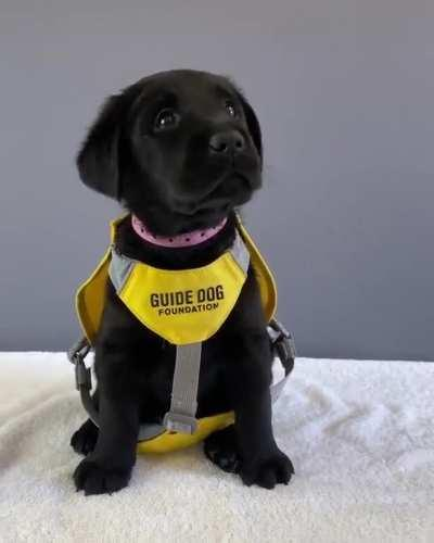 Guide Dog reporting for duty
